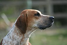 English Foxhound portrait.jpg