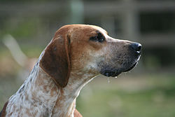 Portrait d'un foxhound anglais.