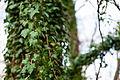 English ivy (24505466594).jpg