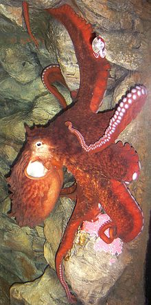 Enteroctopus dofleini in aquarium crop.jpg