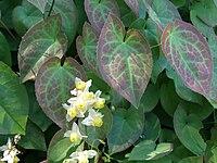 Epimedium pubigerum a1