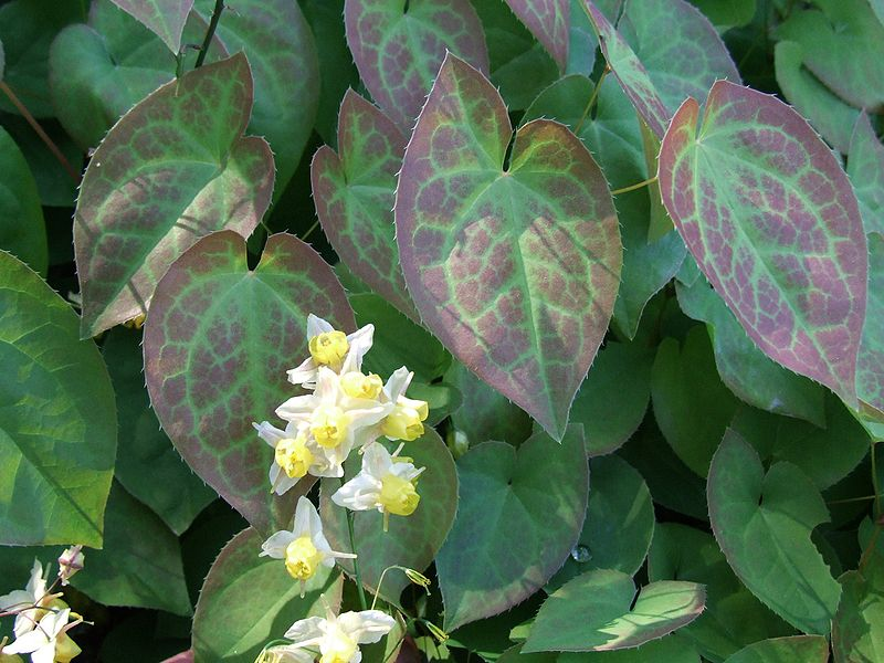 Tập tin:Epimedium pubigerum a1.jpg