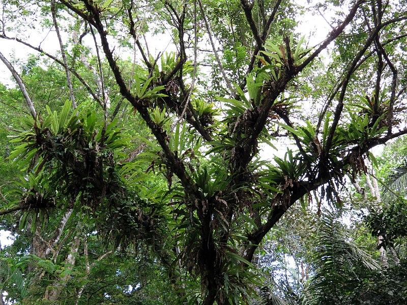 File:Epiphytes - Flickr - treegrow (2).jpg