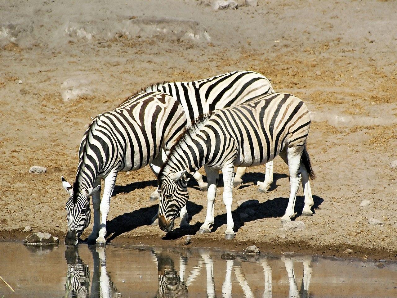 namibia, zebras