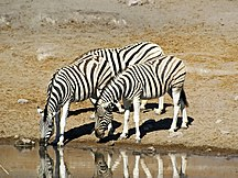 Namibija-Turizem-Equus burchelli 4
