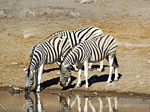 Economy of Namibia - An example of Namibian wildlife, the Plains Zebra, one focus of tourism