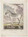 Equus quagga - 1700-1880 - Print - Iconographia Zoologica - Special Collections University of Amsterdam - UBA01 IZ21700033.tif