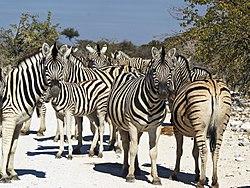 Equus quagga burchellii (group).jpg