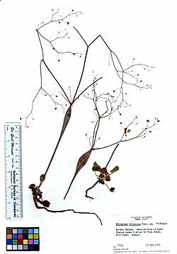 Eriogonum trichopes (6019379370).jpg
