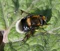 Eristalis.intricaria.female.jpg
