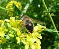 Eristalis tenax - Flickr - gailhampshire (5).jpg