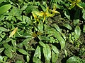 Erythronium americanum 2019-04-16 0335.jpg