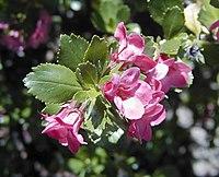 Escallonia macrantha