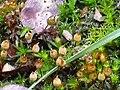 Esporofitos Orthotrichum acuminatum Enfoque 2011-1-30 SierraMadrona.jpg