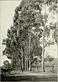 """Eucalyptus globulus in """"Eucalypts cultivated in the United States"""" (1902) (14779991091).jpg"""