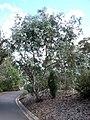 Eucalyptus risdonii.jpg