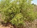 Euclea undulata, habitus, Faerie Glen NR.jpg