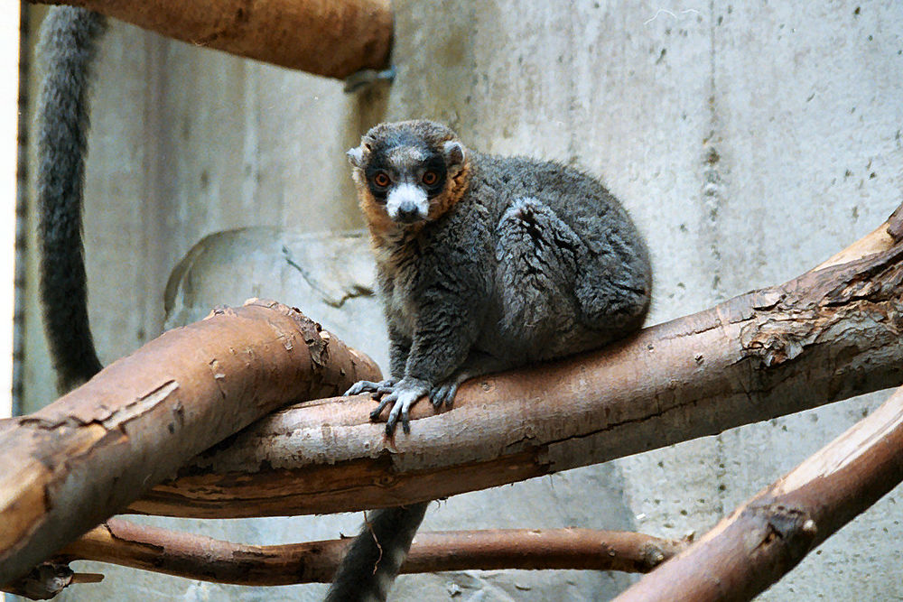 The average litter size of a Mongoose lemur is 1