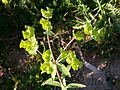 Euphorbia esula (16024852623).jpg