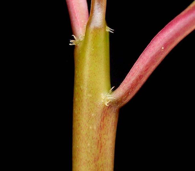 File:Euphorbia geroldii2 ies.jpg