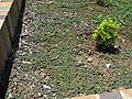 Euphorbia maculata habit1 (16342256106).jpg