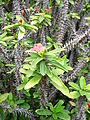 Euphorbia milii kz1.jpg