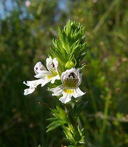 Euphrasia rostkoviana 250807. jpg