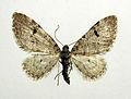 Eupithecia conterminata.jpg