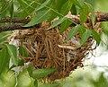 Eurasian Golden Oriole (Oriolus oriolus) nest W IMG 9566.jpg