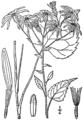 Eurybia macrophylla BB-1913-6.png