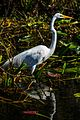 Everglades - Shark Valley - Great Egret (Casmerodius alba) (12260188556).jpg