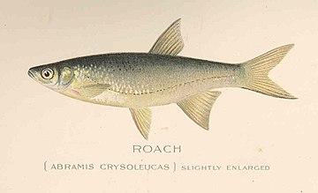FMIB 43217 Roach (Abramis crysoleucas).jpeg