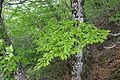 Fagus japonica 03.jpg