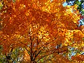 Fall-orange-maple-tree - West Virginia - ForestWander.jpg