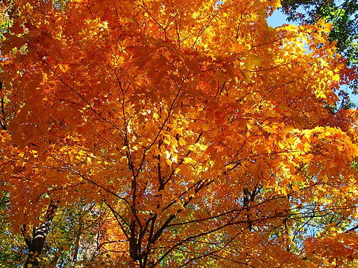 Fall-orange-maple-tree - West Virginia - ForestWander