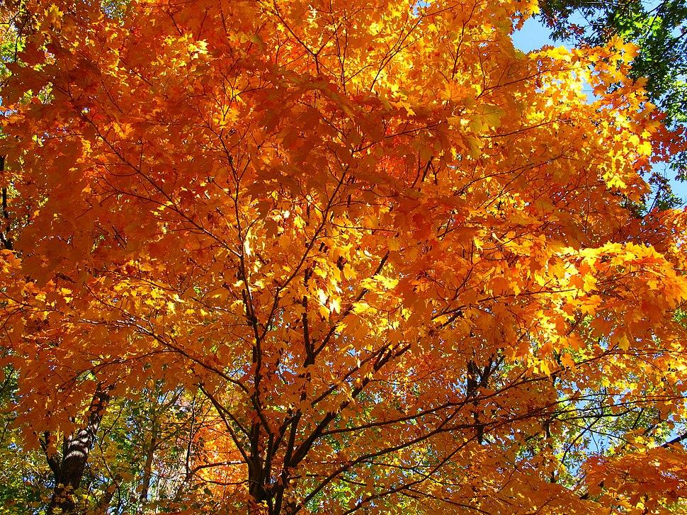 Fall-orange-maple-tree - West Virginia - ForestWander