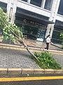 Fallen trees in Shenzhen due to 2018 Typhoon Mangkhut 05.jpg