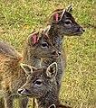 Fallow deer - Flickr - Stiller Beobachter (1).jpg