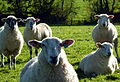 Family Sheep (6318362289).jpg