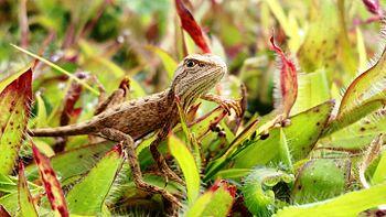 Fan-throated Lizard.jpg