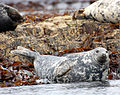 Farne Grey seal.jpg