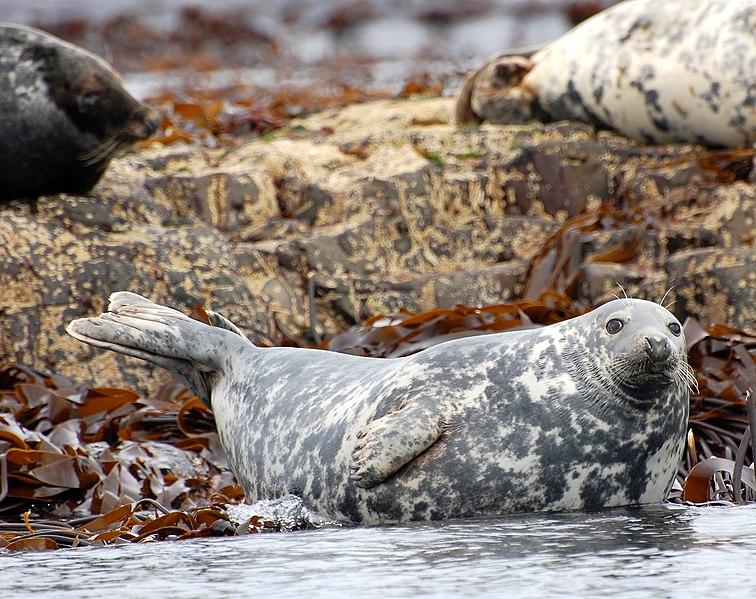 File:Farne Grey seal.jpg