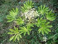 Fatsia japonica.003 - Zapateira.jpg