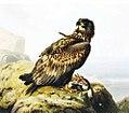 Ferdinand von Wright, Merikotka kalliolla.jpg