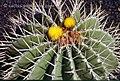 Ferocactus schwarzii فروکاکتوس شوارتزیه.jpg