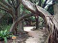 Ficus microcarpa in Shikina Garden.JPG