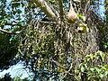 Ficus sur, besemtrosse, b, Pretoria NBT.jpg