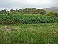 Field of fodder crop near Bogue - geograph.org.uk - 375027.jpg