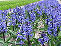 Field with blue hyacinths near Keukenhof 2.jpg