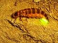 Firefly Nevit 02665 cr.jpg